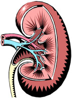 How The Kidney Works